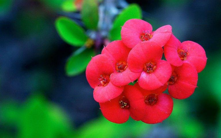 Bunga-Euphorbia
