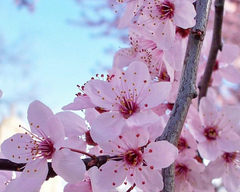 Bunga-Sakura-Yamazakura