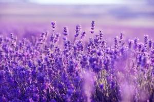 Bunga-Lavender
